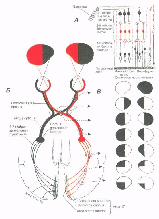 Нерв зрительный